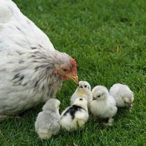 Krafttier Huhn