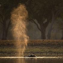 Krafttier Nilpferd
