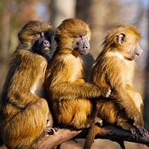 Krafttier Affen