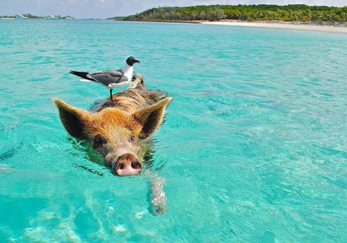 Krafttier Schwein