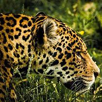 Krafttier Jaguar